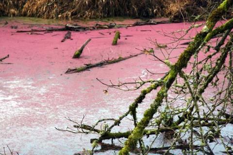 nr_pink_algae.jpg